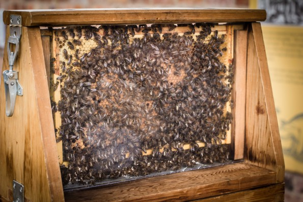 Bees cluster over honeycomb in a frame behind glass