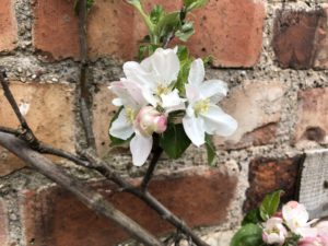 pink tipped apple blossom