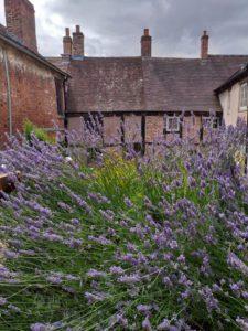 a large lavender plant