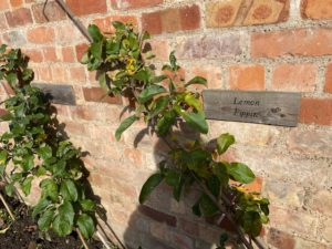 An apple tree grows diagonally up the wall supported by a stake