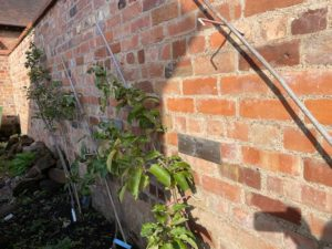 A young apple tree grows up a stake against a brick wall