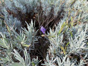 Lavender - one last flower remains