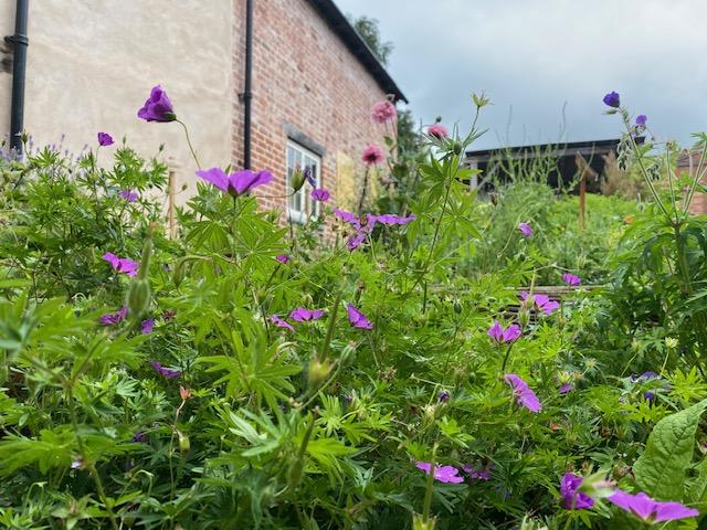 a mass of purple flowers