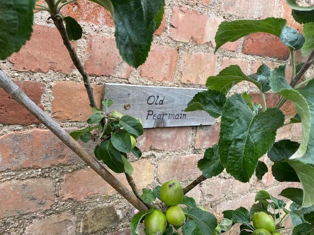 old Pearmain apple tree